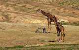 Giraffes_1.jpg