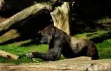 Gorilla - 1.jpg