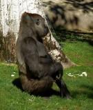 Gorilla - 4.jpg