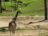 Giraffes_4.jpg