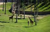 Giraffes_5.jpg