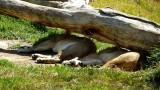 Lions - 1.jpg