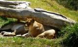 Lions - 2.jpg