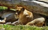 Lions - 3.jpg