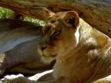 Lions - 4.jpg
