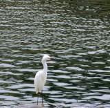 Egret - 3.jpg