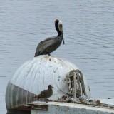 Pelican  Gull.jpg