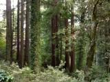 Redwood Forest - 3.jpg