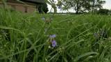 Cahokia Prairie Grass - 2.jpg