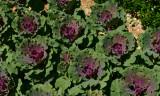 Ornamental Cabbage - 3