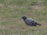 Rock Dove, Auld Haa, Fair Isle