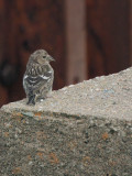 Two-barred Crossbill. Skaw, Unst, Shetland