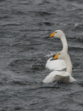 Whooper Swan, Loch of Spiggie, Mainland, Shetland