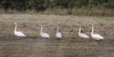 Whooper Swan, Aber Bog-Loch Lomond RSPB, Clyde