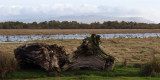 Maroned tree stumps, Loch Lomond NNR, Clyde