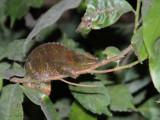 Chameleon, Ranomafana