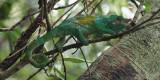 Chameleon, Andasibe