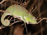 Chameleon, Tsingy de Bemaraha