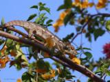 Oustalet's Chameleon, near Kirindy