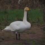Whooper Swan, Carbarns, Clyde