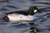 Goldeneye (male), Hogganfield Loch, Glasgow
