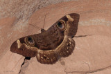 A huge moth sheltering in the cave
