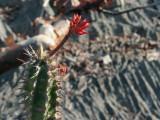 Flowering cactus at Great Tsingy
