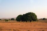 Mango trees between Toliar and Zombitse