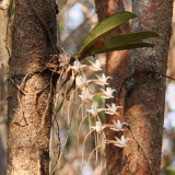 Flowering orchid at Zombitse NP