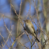 Chiffchaff, Burn of Mar, Clyde
