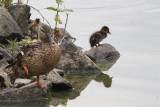 Mallard duck and chicks, Hogganfield Loch, Glasgow