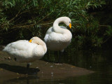 Whooper Swans, River Clyde at Baron's Haugh