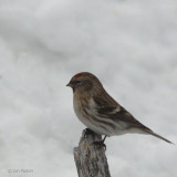 Common or Mealy Redpoll