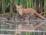 Red Fox, RSPB Baron's Haugh, Clyde