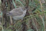 Garden Warbler, Fair Isle