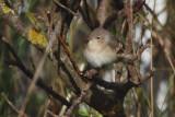 Garden Warbler, Clingera-Unst, Shetland