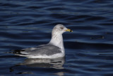 Ring-billed Gull, Strathclyde CP, Clyde