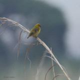 Cuckoo Finch