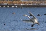 Whooper Swan, RSPB Baron's Haugh, Clyde