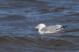 Ring-billed Gull. Strathclyde Loch, Clyde