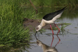 Black-winged Stilt, Hortobagy NP, Hungary