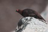 Red Grouse, Coire an Lochan-Cairngorm, Highland
