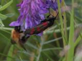 Six-spot Burnet moth, Cardowan Moss, Glasgow