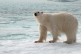 Polar Bear, north of Svalbard