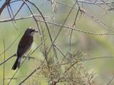 Red-backed Shrike, Dalyan, Turkey