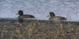 Greater Scaup with Tufted Duck, Crom Mhin Bay-Loch Lomond NNR, Clyde