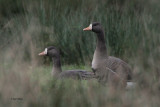 Greenland White-fronted Goose, Loch Lomond NNR, Clyde