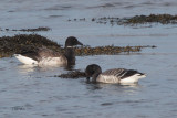 Pale-bellied Brent Goose, Ardmore Point, Clyde