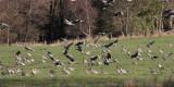 Pink-footed Geese, near Gartocharn, Clyde