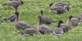 Pink-footed Geese, near Croftamie, Clyde